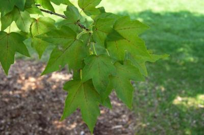 Acer miyabei 'Morton' (STATE STREET® Miyabe Maple), leaf, summer