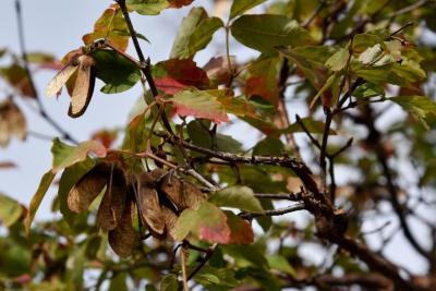 Acer griseum (Paper-barked Maple), infructescence