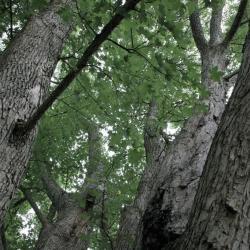 Acer miyabei (Miyabe Maple), bark, trunk