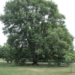 Acer miyabei (Miyabe Maple), habit, summer