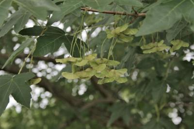 Acer miyabei (Miyabe Maple), infructescence