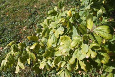 Acer negundo var. texanum (Texas Boxelder), leaf, fall