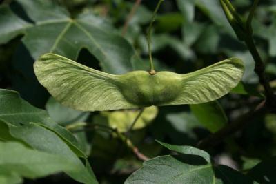 Acer miyabei (Miyabe Maple), fruit, mature