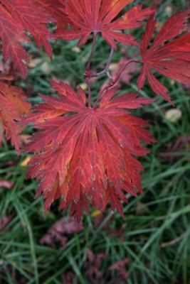 Acer japonicum 'Aconitifolium' (Fern-leaved Fullmoon Maple), leaf, fall