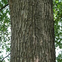 Acer miyabei (Miyabe Maple), bark, mature
