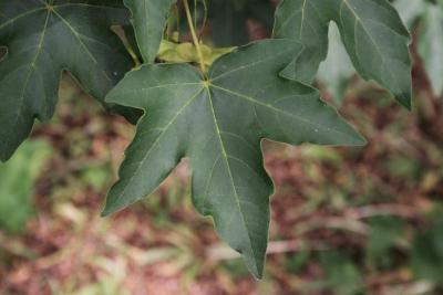 Acer miyabei (Miyabe Maple), leaf, upper surface