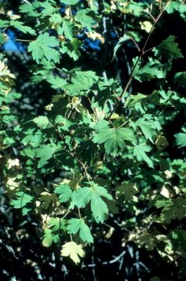 Acer glabrum (Rocky Mountain Maple), leaf, summer