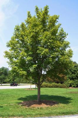 Acer miyabei 'Morton' (STATE STREET® Miyabe Maple), habit, summer