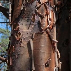 Acer griseum (Paper-barked Maple), bark, mature