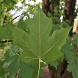 Acer miyabei 'Morton' (STATE STREET® Miyabe Maple), leaf, lower surface