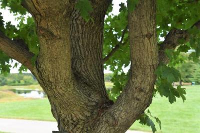 Acer campestre x miyabei (Hedge-Miyabei Hybrid Maple), bark, mature