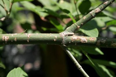 Acer henryi (Chinese Boxelder), bark, branch