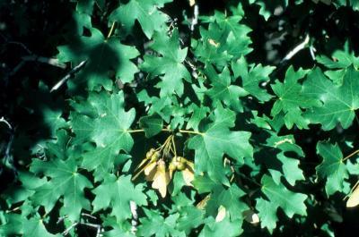 Acer grandidentatum (Big-toothed Maple), leaf, summer