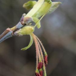 Acer negundo (Boxelder), flower, full