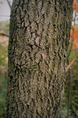 Acer negundo (Boxelder), bark, mature