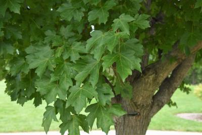 Acer campestre x miyabei (Hedge-Miyabei Hybrid Maple), leaf, summer