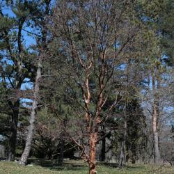 Acer griseum (Paper-barked Maple), habit, spring