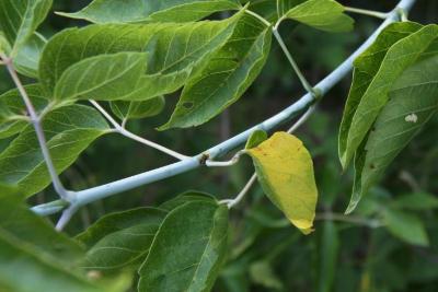 Acer negundo violaceum (Boxelder), bark, twig