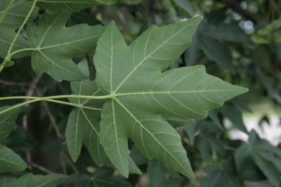 Acer miyabei (Miyabe Maple), leaf, lower surface