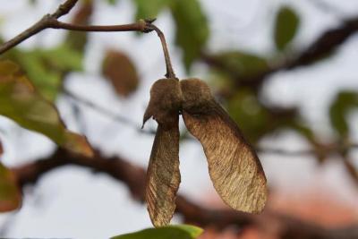 Acer griseum (Paper-barked Maple), fruit, mature