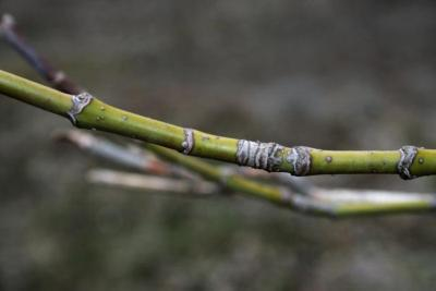 Acer negundo (Boxelder), bark, twig