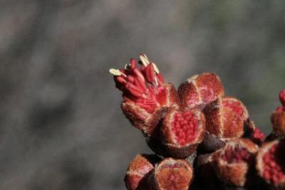 Acer rubrum (Red Maple), bud, flower
