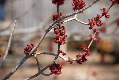 Acer rubrum (Red Maple), flower, pistillate