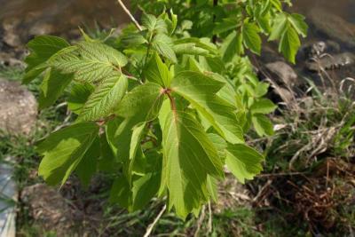 Acer negundo (Boxelder), leaf, spring