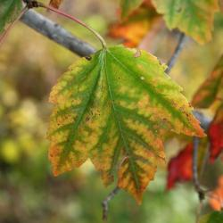 Acer rubrum 'Red Sunset' (Red Sunset Red Maple), leaf, chlorotic