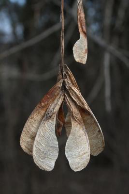 Acer negundo (Boxelder), fruit, mature