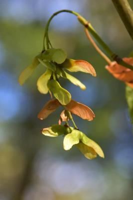 Acer pensylvanicum (Striped Maple), infructescence