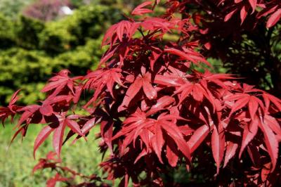 Acer palmatum 'Twombly's Red Sentinel' (Twombly's Red Sentinel Japanese Maple), leaf, spring