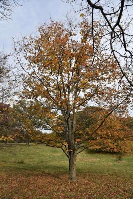 Acer nigrum (Black Maple), habit, fall
