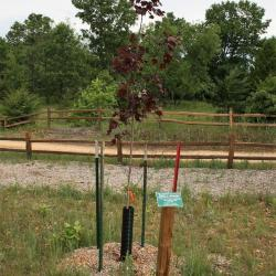 Acer platanoides 'Fassen's Black' (Faassen's Black Norway Maple), habit, young