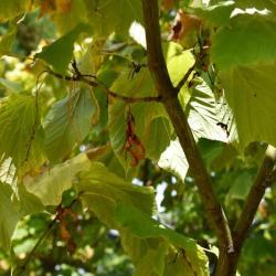 Acer pensylvanicum (Striped Maple), fruit, mature