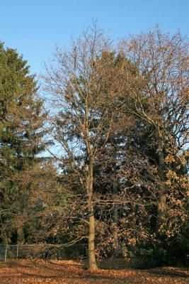Acer platanoides (Norway Maple), habit, winter