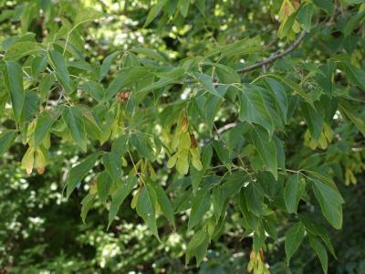 Acer negundo (Boxelder), fruit, immature