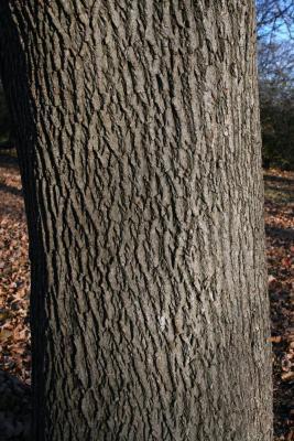 Acer platanoides (Norway Maple), bark, mature
