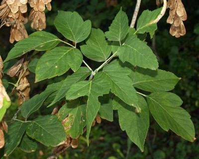 Acer negundo (Boxelder), leaf, summer