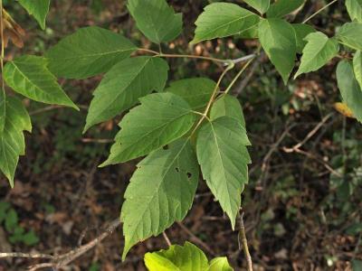 Acer negundo (Boxelder), leaf, upper surface