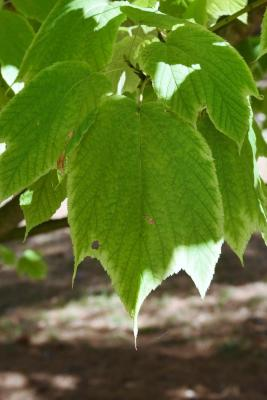 Acer pensylvanicum (Striped Maple), leaf, fall