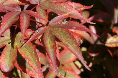 Acer palmatum 'Twombly's Red Sentinel' (Twombly's Red Sentinel Japanese Maple), leaf, upper surface