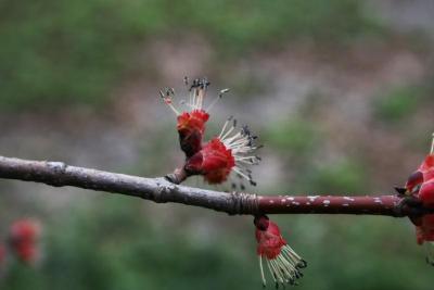 Acer rubrum (Red Maple), flower, staminate