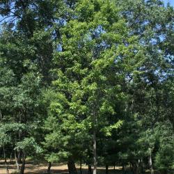 Acer rubrum (Red Maple), habit