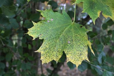 Acer platanoides (Norway Maple), leaf, fall