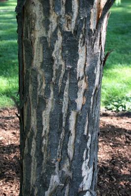 Acer saccharinum 'Skinneri' (Skinner's Cut-leaved Silver Maple), bark, mature