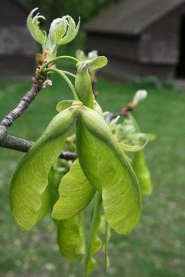 Acer saccharinum (Silver Maple), fruit, immature