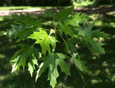 Acer saccharinum (Silver Maple), leaf, summer