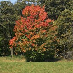 Acer pseudosieboldianum (Korean maple), fall color