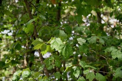 Acer rubrum (Red Maple), leaf, summer
